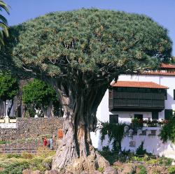 El Drago, Icod de los Vinos Tenerife